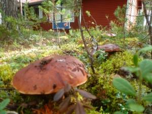 Steinpilze vor unserem Ferienhaus
